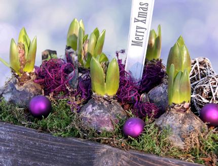 Så blir hyacinten glad
