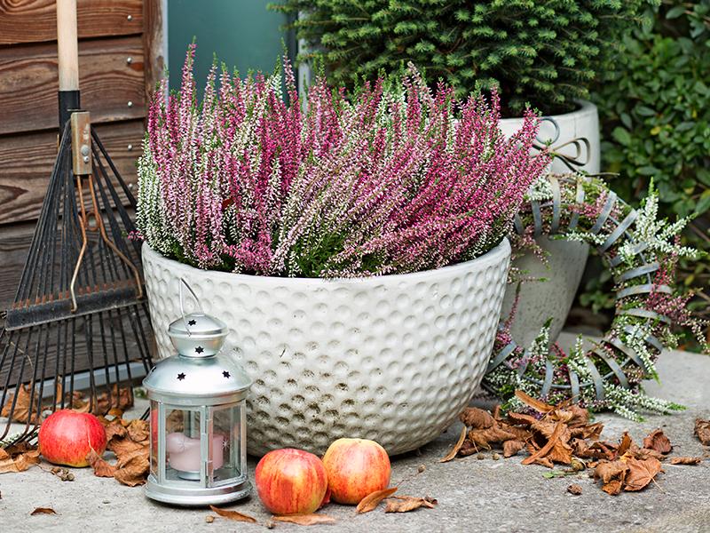 plantera ljung på hösten