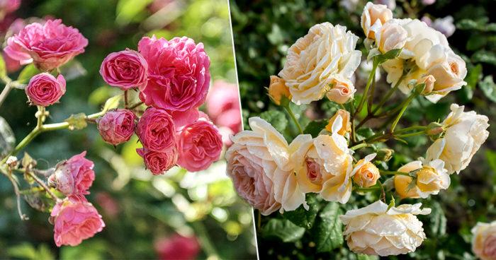 7 tips för att lyckas med rosorna