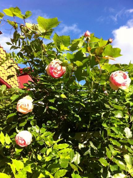 eden rose oktober