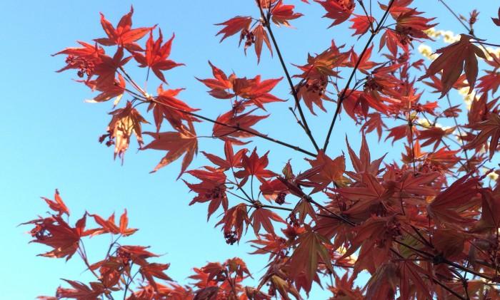 japansk blodlönn