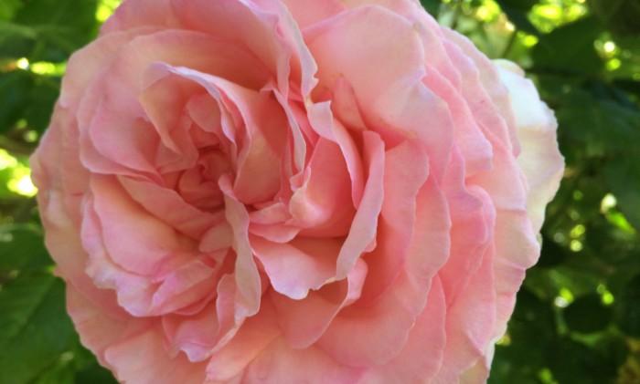 rosensylt