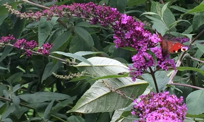 fjärilsbuske