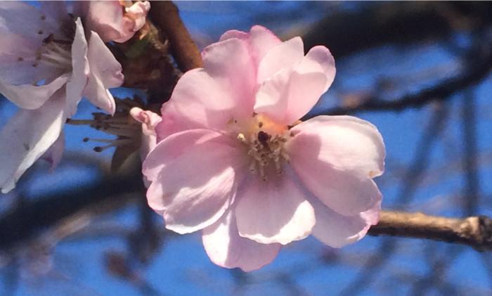 japanskt körsbär