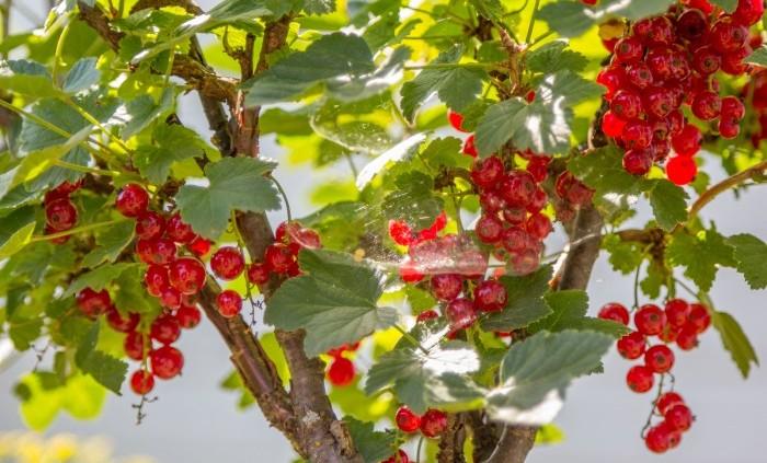 Äntligen något gott av röda vinbär!