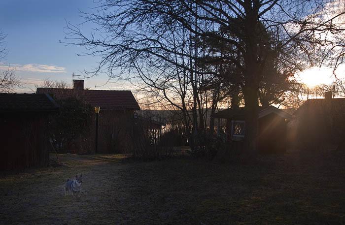Morgon i trädgården i motljus från den uppgående solen. Trots detta kan du se en Vaira som strosar omkring och letar spår efter de vilda djurens nattvandringar i min trädgård.