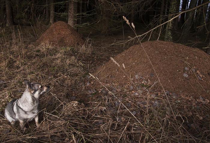 Inga myror än på tvillingstackarna i min skog. Skönt. Om solen skiner lite mer, finns det risk att de tittar fram.