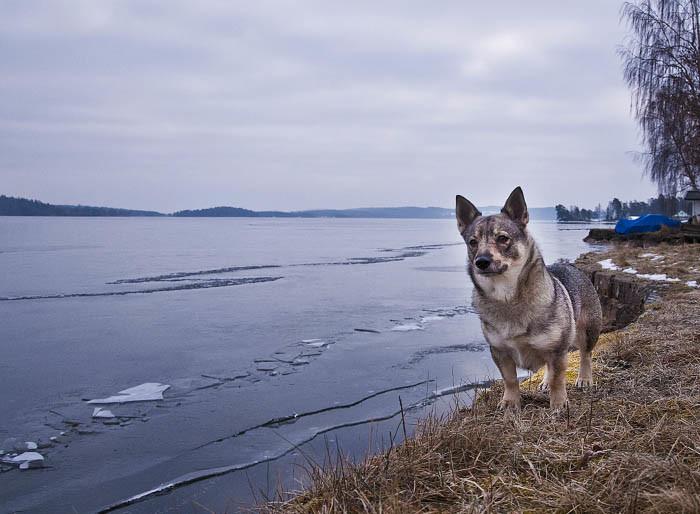 Min strand var totalt andlös vid min inspektion. Kan det bero på att det är is på sjön? Vad vet jag, men det fanns ingen att skrämma och skälla på i alla fall. Annars är jag ganska talangfull på det, om det bara finns änder att tillgå.