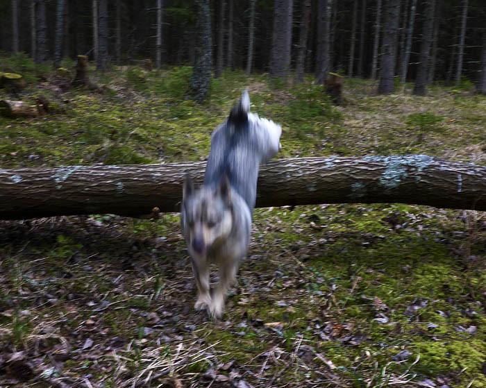 Här gick det verkligen undan. Vare sig kameran eller min husse hängde med. Fast du ska veta att det var inte lätt, för på skogsagility tillhör jag Sverigeeliten. Ett kullfallet träd är inget som stoppar en Vaira! Med en osannolik elegans flyger jag över den fallna stammen.