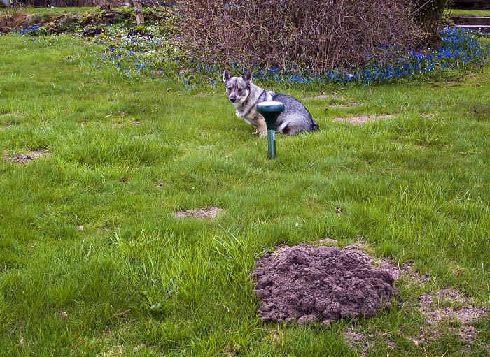 Nu vet jag att det är mullvadsskrämmor. Ser du några mullvadar? Nej precis! Du ser bara en Vaira och det är inte så bara. Du ser också en av de många jordhögas som morbror har lagt i gräsmattan.