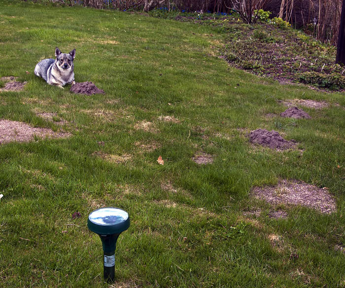 Tror inte du också att det blir svårt att runda de små jordhögarna med gräsklipparen? Jag förstår att inte morbror och moster att de gör dem lite här och var i gräsmattan.