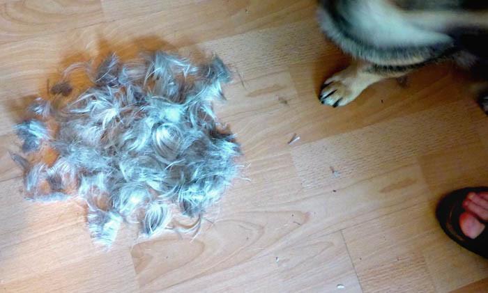 Vad är detta? Vems hår är det? Vems tass är det? Vems tår är det? Jo, det är husses hår, det är min tass och det är min Agnes tår. Satt husses hela styrka i hårhögen? Ja, det får vi se när vi ska ut och gå.