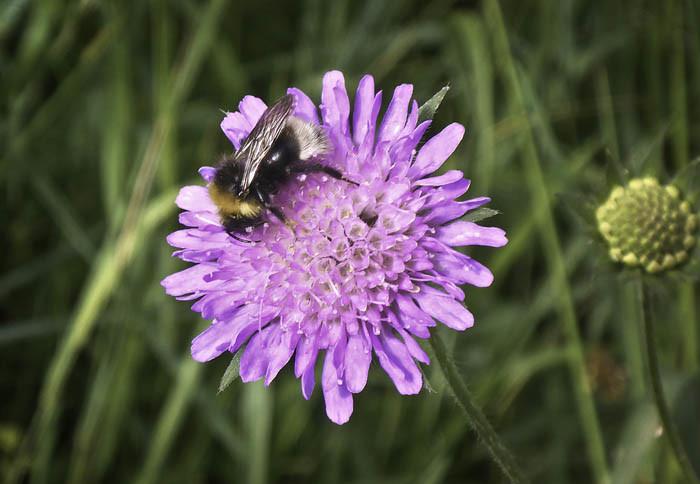 Jaha. En humla som sitter på en blomma, är bara ett stort jaha. Jag har massor av dem hemma i min trädgård, så det är inget märkligt med dem bara för att de sitter i ett dike.