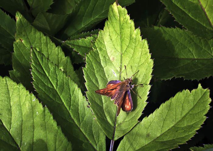 Ibland stöter man på små lustiga brunorange fjärilar. Lite kul kanske, men fyra år?