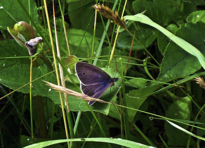 En del fjärilar är så mörka, så de knappt går att studera. Flugan som sitter där nere på grässtrået är inget märkligt heller. Vi har massor sådana i våra fönster här hemma. De smutsar bara ner.