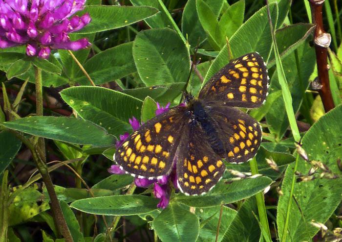 Ytterligare en fjäril. Den här tuggar i sig klöver, vad det verkar. Antagligen heter den klöverfjäril med mosaikmönster. Inget märkligt med den heller.