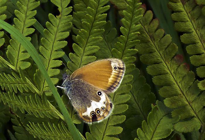 Detta måste vara en ormbunkefjäril. Det var en liten stackare och inget att jaga precis. Fjärilar i allmänhet är väldigt svårvallade, eftersom de flyger så himla ryckigt hit och dit. Björktrastar är roligare.
