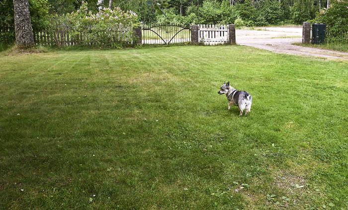 Den här var den första delen av gräsmattan, som strejkbrytaren fick ta sig an i förgår. Hyfsat snyggt blev det. Lite mer noga hade min husse kunnat vara. Inte bra, men bättre.