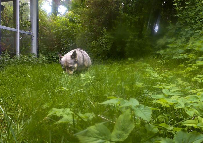 Utanför uterummet växer gräset som bara den. Det var fullkomligt fel ställe att glömma. Inte alls bra, en riktig skam för min husse, mig och hela huset. Vad ska grannarna tro?
