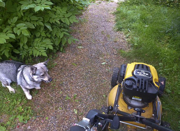 """""""Skynda dig din strejkbrytande latmask"""", uppmanar jag den lata gräsklipparen. Ser du vad högt gräset är jämte gången. Inte bra!"""