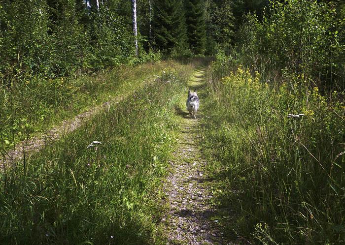 Nu har vi passerat ladugården och svängt in i skogen. Som sig bör, så anför jag promenaden, Jag hittar så bra nämligen.