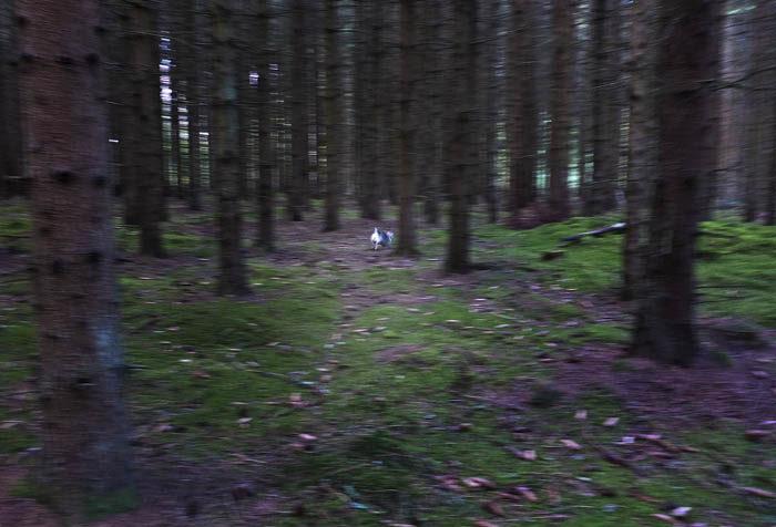 Har du tur kan du se en skymt av den hemliga operativa reserven i skogen.