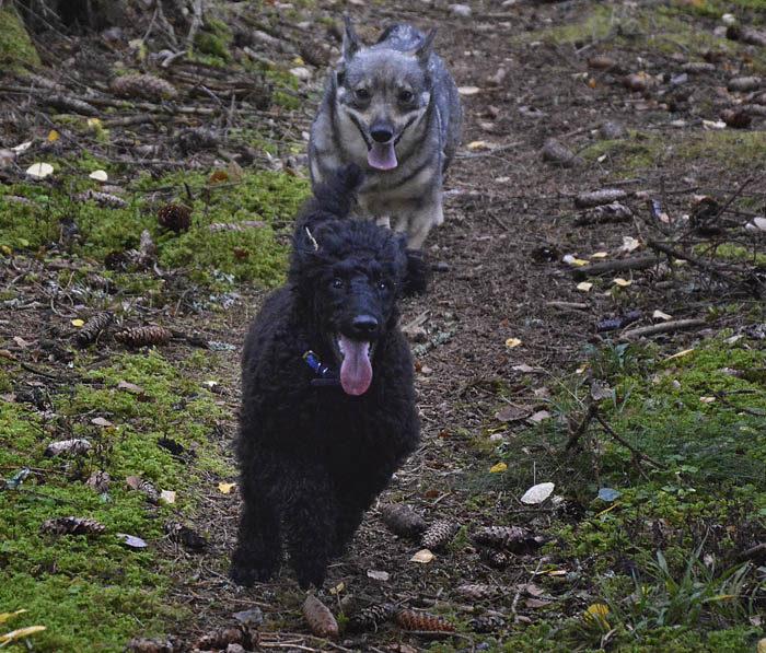 Precis så här ska det se ut när Charlie och jag träffas. Full fart med både det ena och andra i skogen, var vad vi ville. Istället hölls vi åtskilda, av någon oförklarlig anledning.
