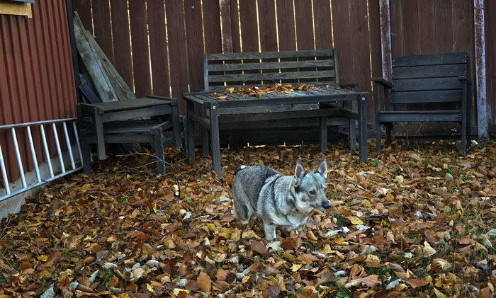 Precis som jag misstänkte. Utemöblerna vid lillstugan, eller gäststugan, står kvar bland löven. Jag tror jag får sätta min husse på att räfsa.