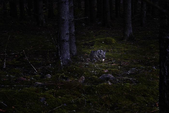 Morgonrusningarna fick göras med största försiktighet. Du ska inte tro att det är lätt att rusa omkring i en mörk skog vid sidan av min hemliga stig. Fast det gick bra och jag stukade ingen tass.
