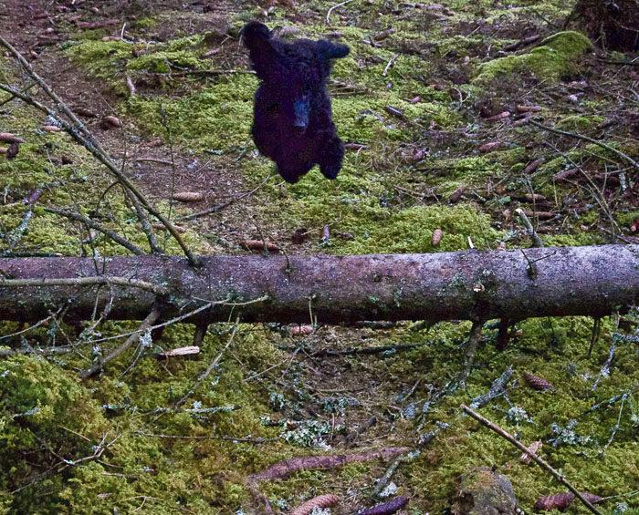 Den här bilden visar Charlie första gången gjorde övningen Hopp över trädstam som föll ner den där dagen det blåste så mycket . Som du ser, så tog han i alldeles för mycket. Målet med övningen är inte att plocka kottar från de omkringstående granarna.