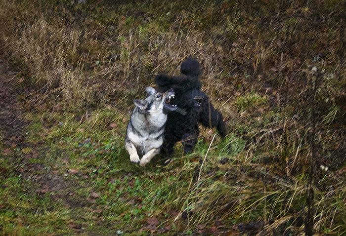 Denna dramatiska (=suddiga) bild visar hur Charlie får sig en åthutning i flygande fläng. Så går det när man springer och nafsar på mig hela tiden. Fast jag biter bara i luften. Det ska Charlie vara tacksam för. Han blir för övrigt rädd ändå, för jag morrar också.