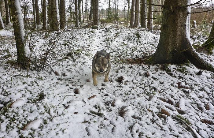 Trots de väldiga drivorna jag får skutta fram i, så lyckas jag med att hålla god fart i skogen. Det krävs en stark och vältränad västgötaspets, att kunna pulsa fram i så mycket snö, som jag har på min hemliga stig.