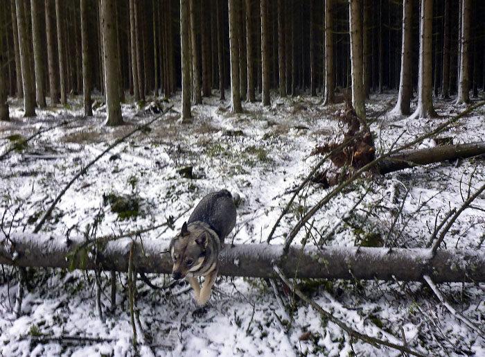 Som om det inte skulle räcka med all snö, massor av trän har blåst omkull i den hemska orkanen. Då gäller det att ha kraft kvar, så man kan hoppa över de fallna stammarna. Det har jag.