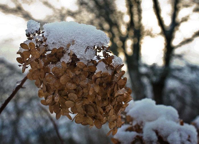 Höstsyrenen har nu transformerat sig till en vintersyren. När blommorna är bruna, istället för skära, och det ligger snö på dem, då vet du att det är en vintersyren. Ganska lätt om du tänker efter.