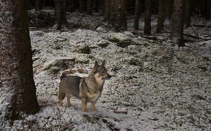 Det gick inte att se min stig i skogen först, men sedan jag hade gått där och min husse hade klampat det, så var inte stigen så hemlig längre. Fast det gör inte så mycket, för det är inte många här ändå.