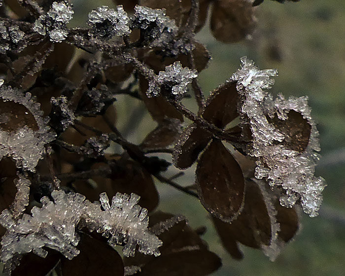 Detta är beviset på att höstsyrenen inte är en vintersyren. Blommorna är mörkbruna, men iskristallerna kan ju vara lite dekorativa. Tar man in dem och sätter i en vas, så försvinner de, så de är helt värdelösa.