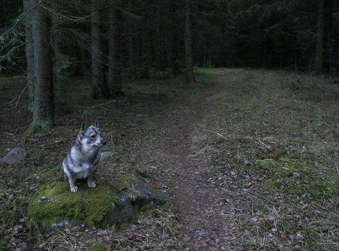 Min utsiktssten vid min hemliga stig är nog det, som jag kommer att sakna mest här hemma, när jag flyttar till Aurignac. Från den har jag upptäckt mycket vallningsbart i skogen. Dessutom är den en godissten. Sitter jag still där när husse går iväg och sedan kommer när han visslar till, så får jag en godis. En bra sten!