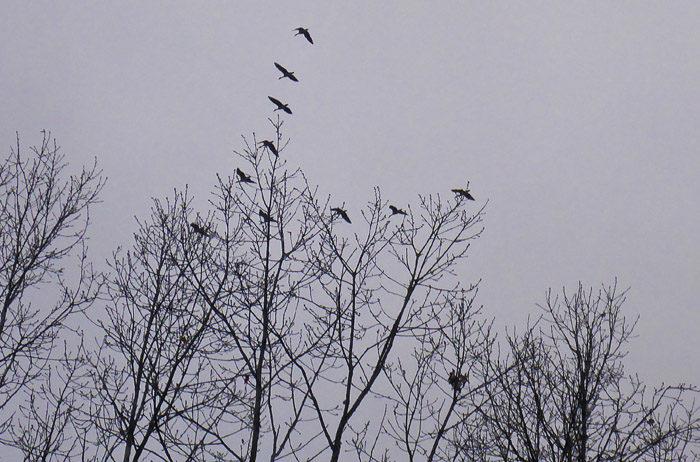 Med kursen rakt mot söder flög dessa vildgäss förbi mig. Är det ett varnande exempel på att man inte ska berusa sig, innan man flyger? Eller också kanske de bara var allmänt förvirrade. Normalt sett flyger de åt andra hållet så här års.