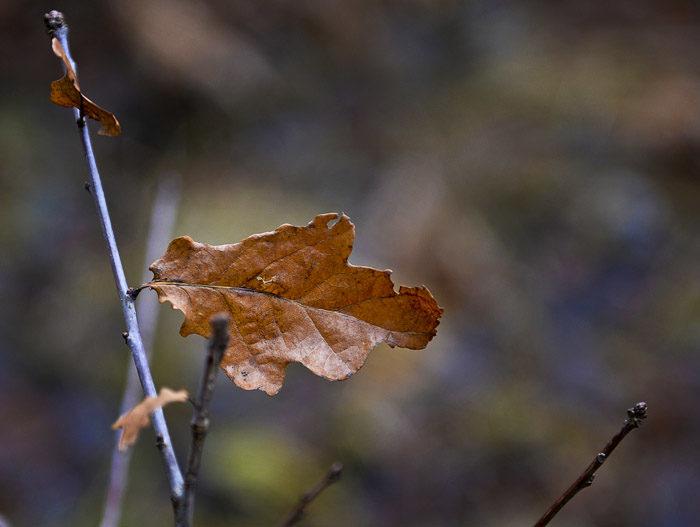 Envis som en västgötaspets tycks det här lövet vara. Löv ska trilla ner på höstarna. De ska inte övervintra i träden. Lite löjligt tycker jag, men utsikten är ju bättre där det sitter, än om det hade legat på marken.