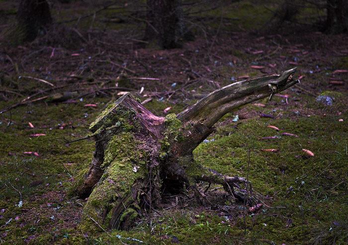 Skogen ser ut att ta sig fint. Redan hade flera stubbar kämpat sig upp ur marken. Den här kommer nog bli ett ståtligt träd i sommar.