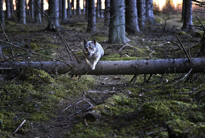 Att i full fart svepa över det där trädet som föll omkull den där dagen som det blåste så mycket, är en nyttig övning. Tänk om jag kunde få Charlie att hoppa lika elegant. Han envisas med att vara minst en halvmeter för högt. Han är så skuttig av sig.