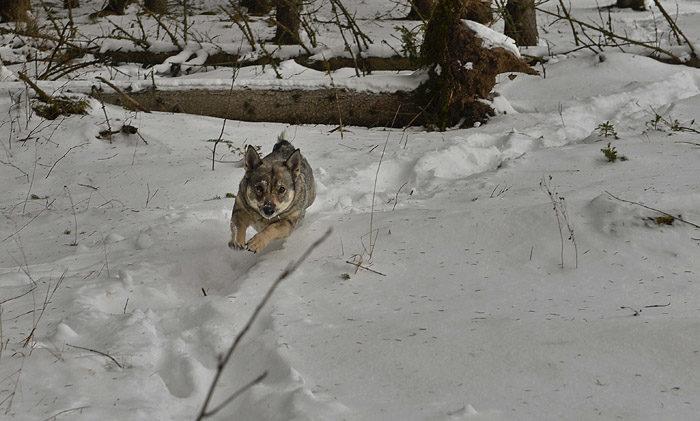 Springa i full fart i snön på min hemliga stig, det är riktigt kul. Fast så här på vintern är ju inte min stig så hemlig, men det ska komma mer snö idag. Då blir stigen hemlig igen, eftersom den inte kommer att synas.