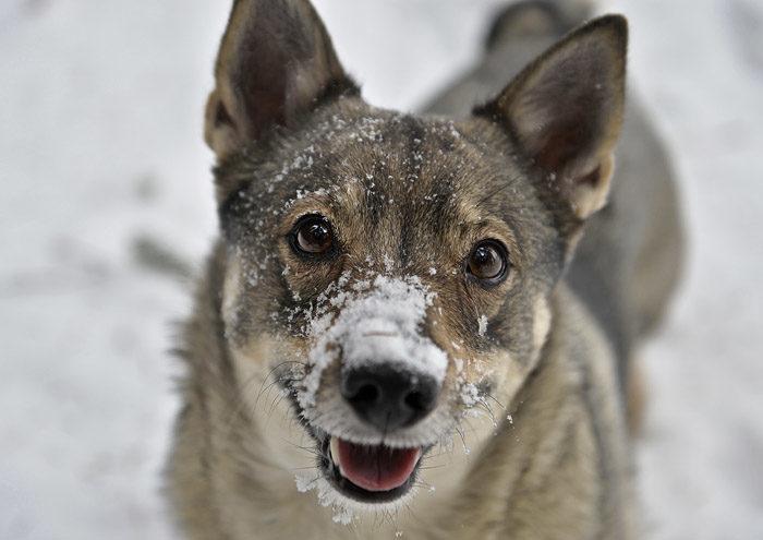 Sticker man ner nosen i snön, så fastnar det snö på nosen. Frågan är om jag inte blir ännu sötare då. Snö kan man äta också. Det smakar precis som vatten.