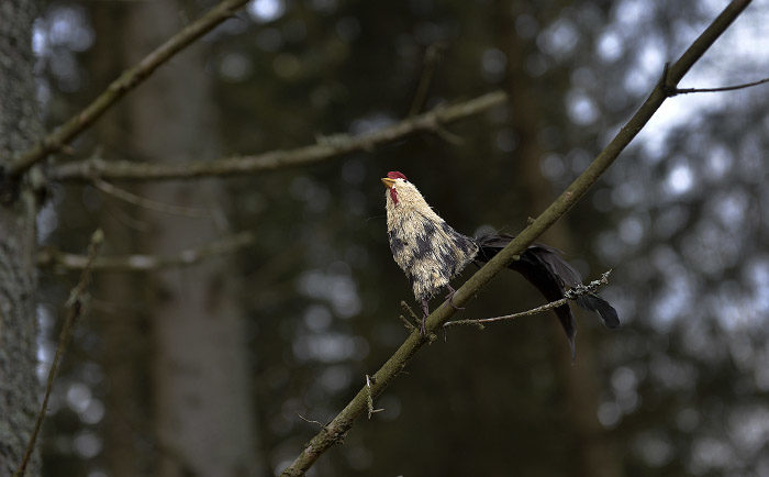 En stjärtkråka hade slagit sig ner på en gren precis jämte min hemliga stig. En sådan syn kan få en fågelskådares hjärta att smälta. Bra husse, som lyckades få den på bild, innan den kraxande flög iväg i skogen.